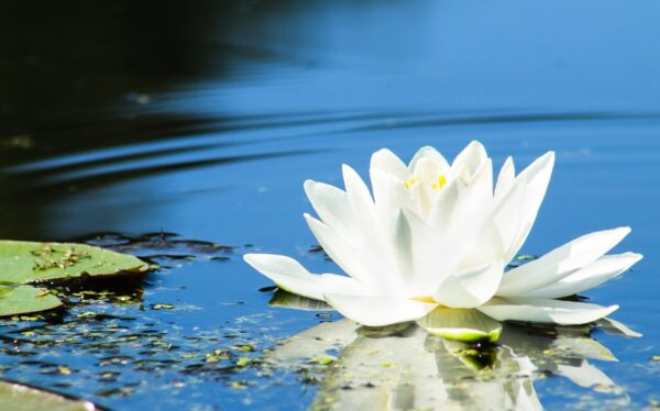 water lily, marsh, water